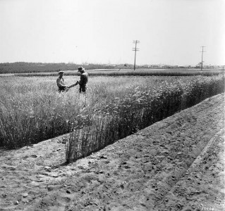 1929: Elite seed multipliers in the agronomy fields. Approximate location of current-day West Parkade / St John's College.